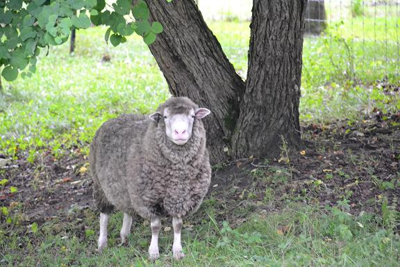 羊さん.JPG